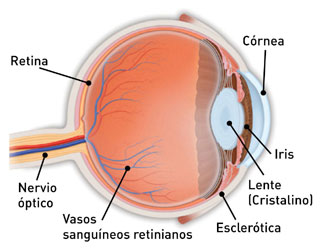 Eye anatomy Spanish